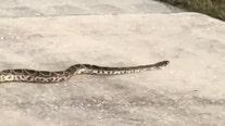 WATCH: Eastern diamondback rattlesnake takes stroll through Deltona neighborhood