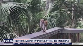 Wild monkey population to multiply in Florida