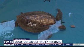 Cold turtles getting extra care