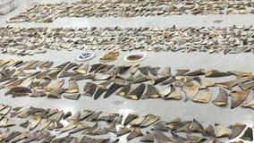 Roughly 1,400 pounds of shark fins seized in Florida