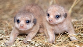 Zoo Miami welcomes pair of baby meerkats