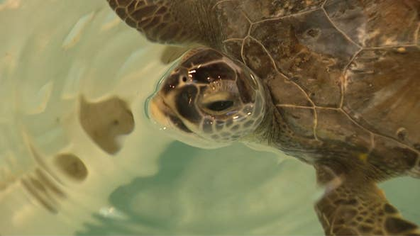 Cold weather keeps sea turtle rescue groups busy
