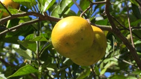 Florida orange production down as season comes to an end
