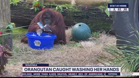Viral video shows orangutan washing hands