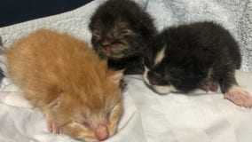 Good Samaritan rescues kittens from dumpster, found in bag full of garbage, Florida shelter says