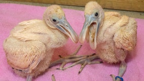 2 spoonbill chicks hatch, thriving at Brevard Zoo