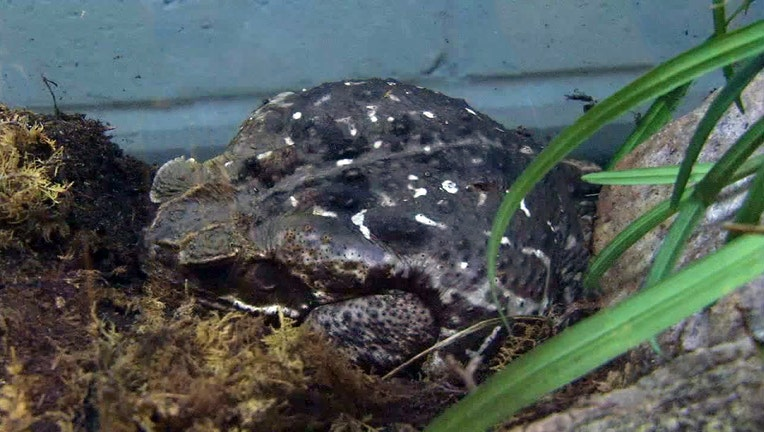 bufo cane toad frog toxic poisonous