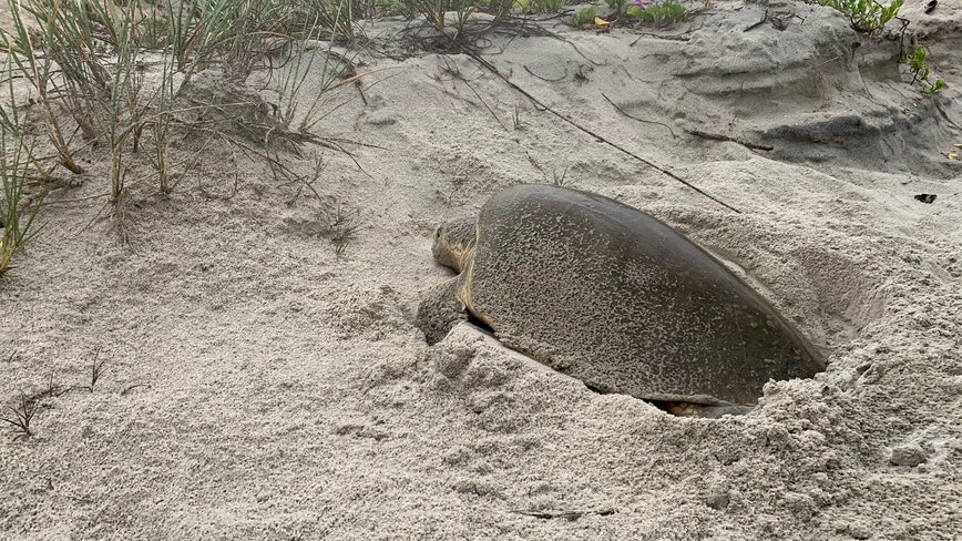 Rare sea turtle spotted nesting in New Smyrna Beach, officials say