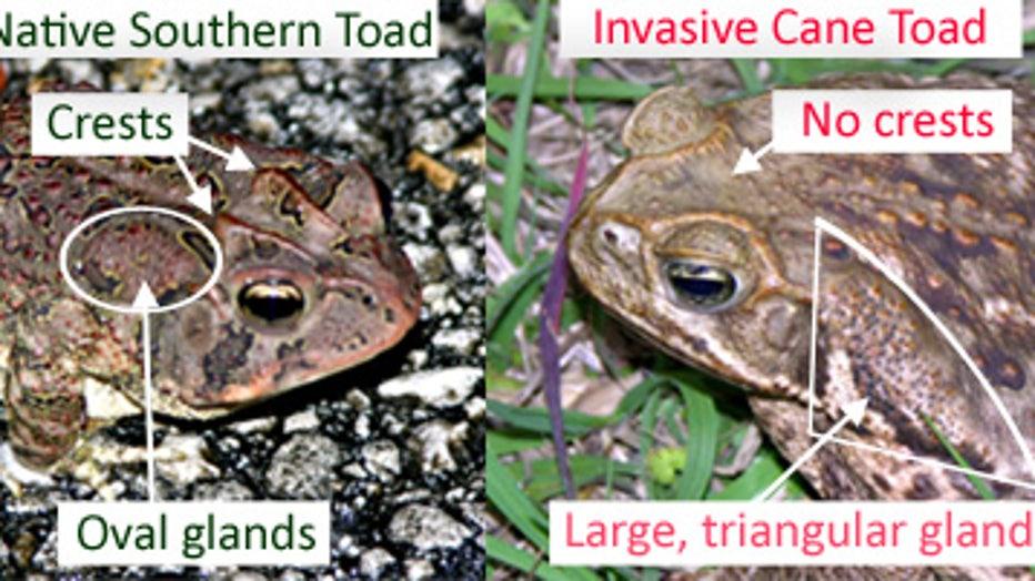 canetoad_southerntoad_comparison.jpg