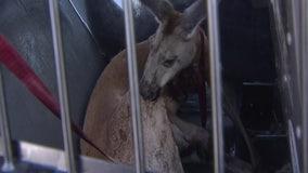 WATCH: Florida police take kangaroo into custody