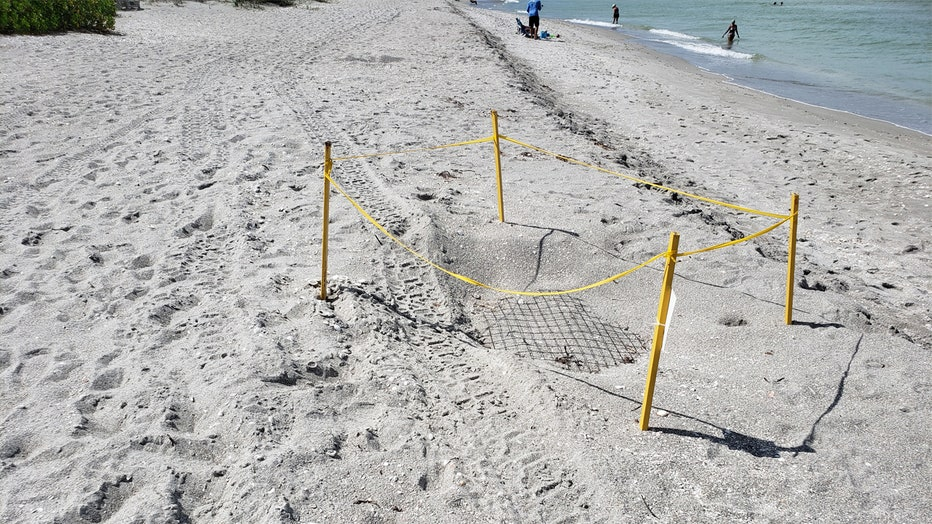 captiva sea turtle nest damage 3