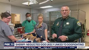 Neglected dog likely linked to dogfighting, sheriff says