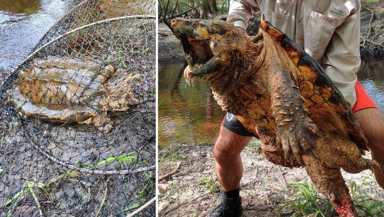 suwannee-alligator-snapping-turtle-fwc.jpg