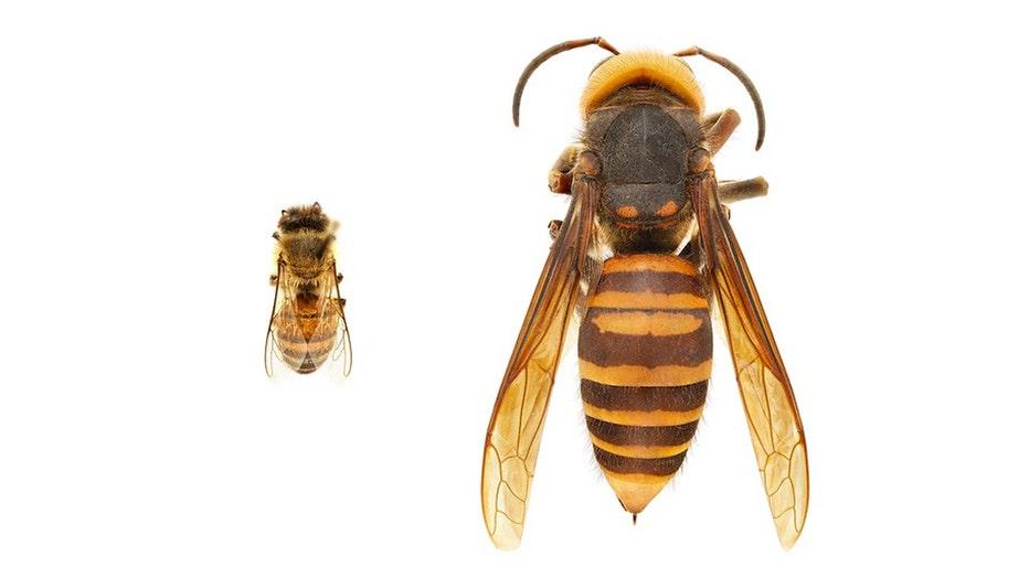 murder-hornet.jpg
