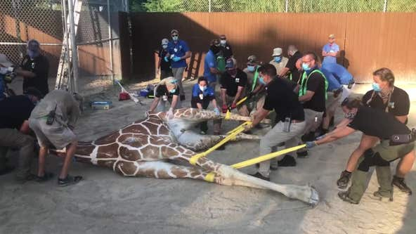 2,000-pound giraffe put under anesthesia to treat foot injuries