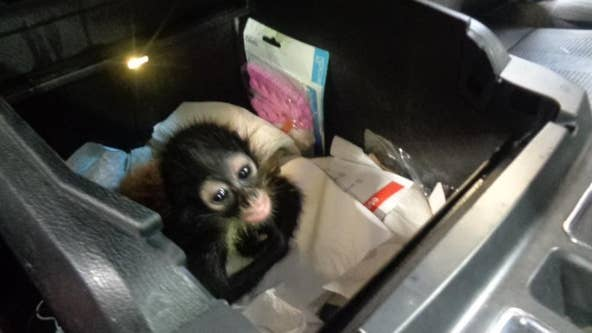 Baby spider monkey confiscated by Border patrol agents coming to live at Brevard Zoo