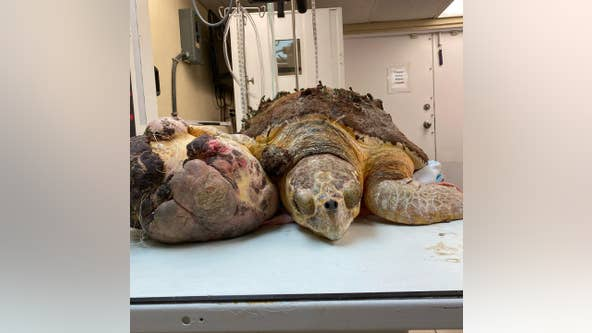 Florida sea turtle on the mend after basketball-size tumor removed