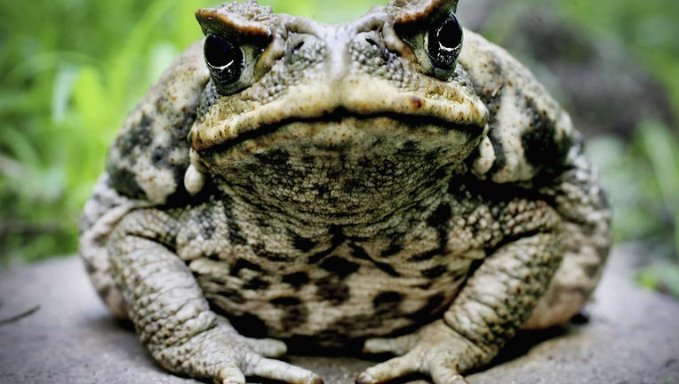 c7d116db-Cane Toads Blamed For Crocodile Deaths