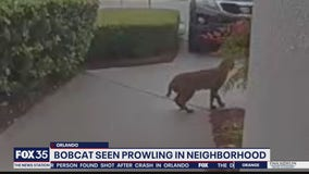 Bobcat seen prowling in Orlando neighborhood