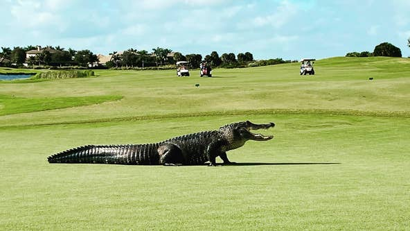 VIDEO: Massive alligator takes a stroll across Florida golf course