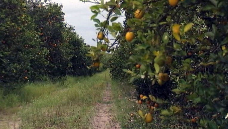 citrus-oranges_1447129494629.jpg