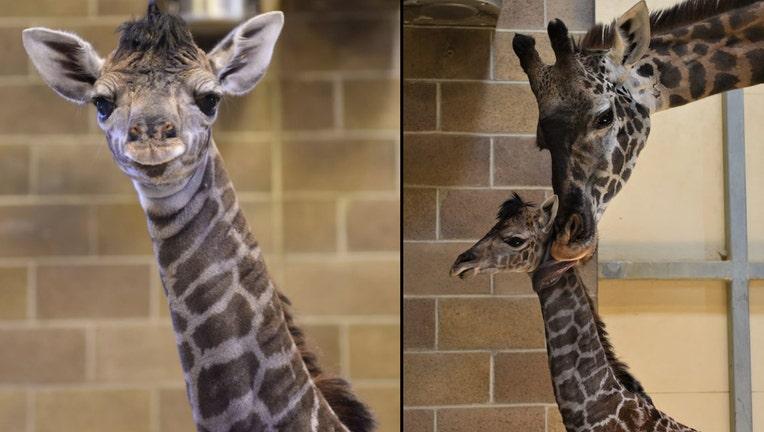 sacramento giraffe