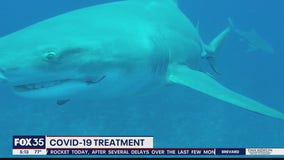COVID-10 treatment could have ties to sharks