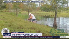 Puppy saved from alligator attack