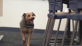 Dogs trained to detect COVID-19 will soon sniff out the virus at Florida Capitol