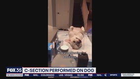 Report: 2 arrested after TikTok video shows illegal C-section performed on dog