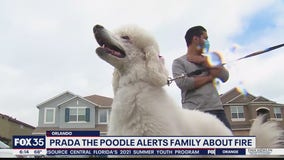Prada the Poodle alerts family of house fire