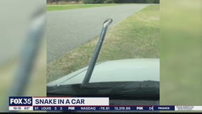 Snake hitches ride in a woman's car