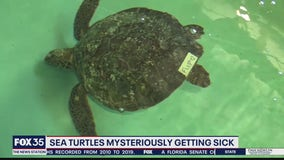 Sea turtles suffer mystery illness