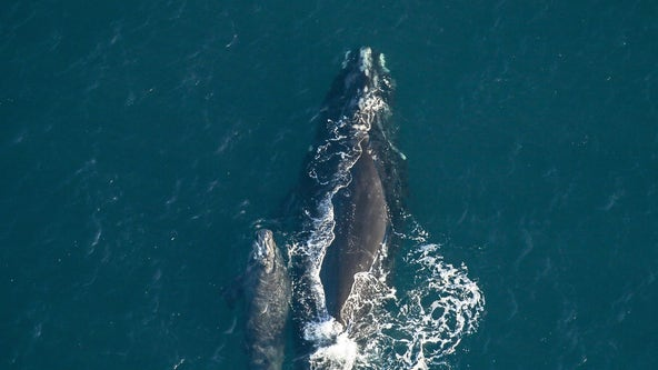 Whale spotted swimming with weeks-old calf off coast of Florida