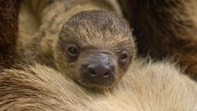 Brevard Zoo welcomes first baby sloth born in 2 years
