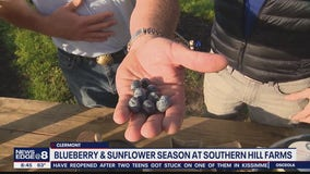 Blueberry and sunflower season at Southern Hill Farms