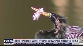 FOX 35 calls Ahopha Wildlife Rescue to assist bird with string around beak