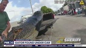 Alligator found under car