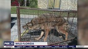 Iguanas, pythons and wild pigs: Florida's invasive species fiasco