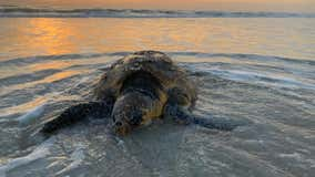 'Sunrise' the turtle rescued along Central Florida beach