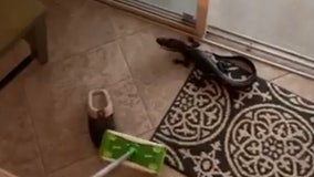 'It's trying to attack the Swiffer!': Florida women find baby gator in home