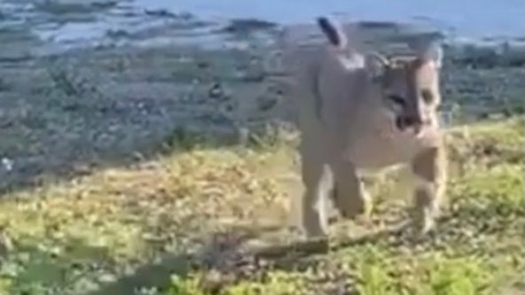 VIDEO: Deputy has encounter with rare and endangered Florida panther