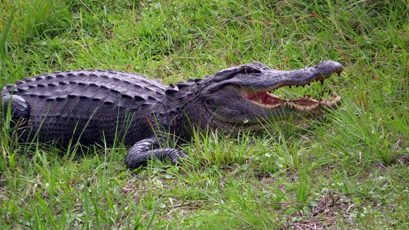 Viral video shows 11-foot alligator chasing fisherman in Florida Everglades