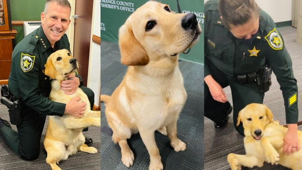 Orange County Sheriff's Office welcomes in labrador Baxter as drug detection dog