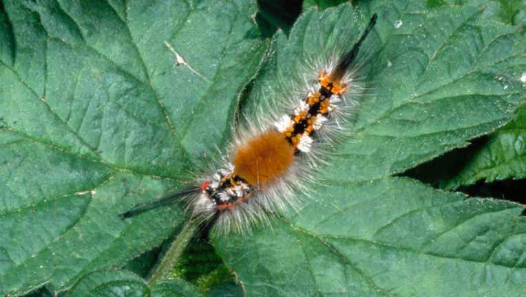 Rusty tussock moth or Vapourer