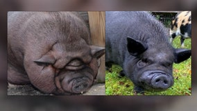 Florida pig 'Popo' is living his best life after losing weight, surgery