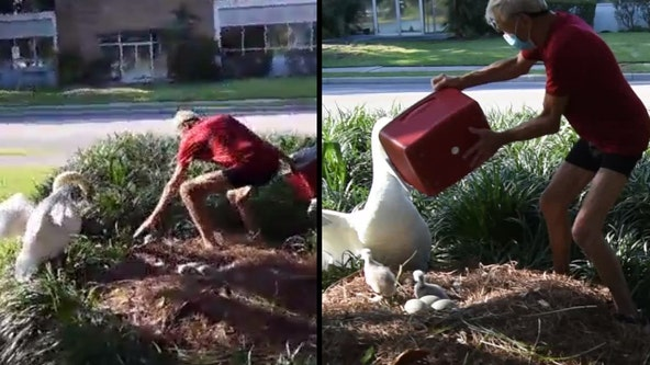 Arrest warrant issued after police say video shows man taking baby swans from Lake Eola