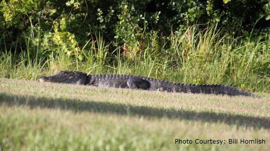 Champions-Gate-alligator1-Bill-Homlish.jpg