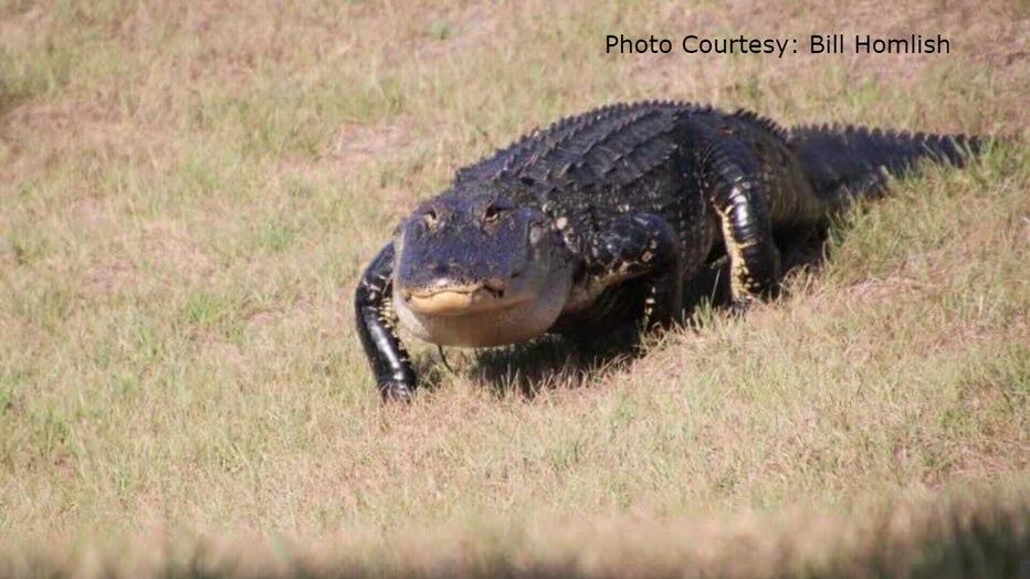 Champions-Gate-alligator2-Bill-Homlish.jpg