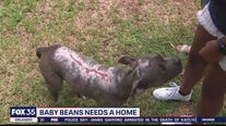 Puppy found burned, thrown from truck needs loving forever home